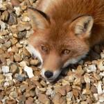 Australis Firefox